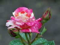 Fronleichnam 11.06.20 6 Rose